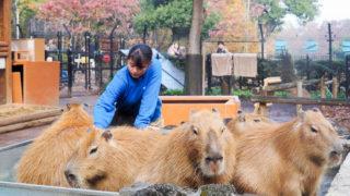 埼玉県こども動物自然公園の温泉に入るカピバラたち
