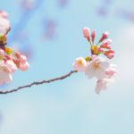 春爛漫 ご近所桜編 OLYMPUS E-M10でトーンカーブを逆S字に