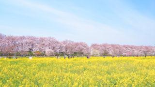 桜と菜の花のコラボ 幸手市権現堂で美しすぎる花見を楽しみました
