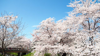 川越新河岸川で桜散歩を楽しみました