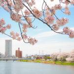 大落古利根川の散り急そぐ桜を愛で、匠サローネでランチしました