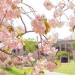 進修館(埼玉県宮代町)の八重桜、いま満開です