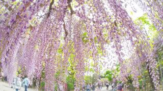 藤のまち、春日部市藤花園にて