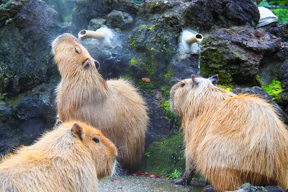 こども動物自然公園のカポバラ