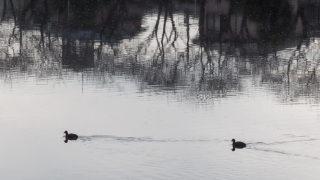 古利根川の野鳥観察会も、また楽し