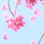 近所の桜でX-T20のダイナミックレンジを試す