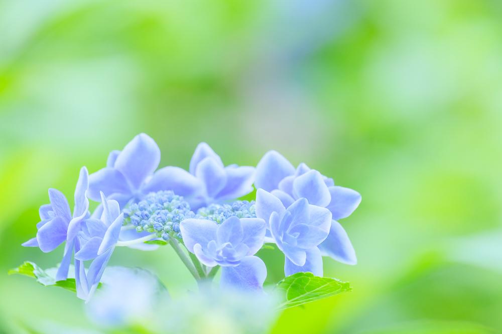 豊島園の紫陽花
