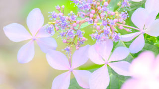紫陽花を撮りに初めての豊島園へ