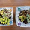 MORSCHEで作った鉢にかわいいセダムを植えました