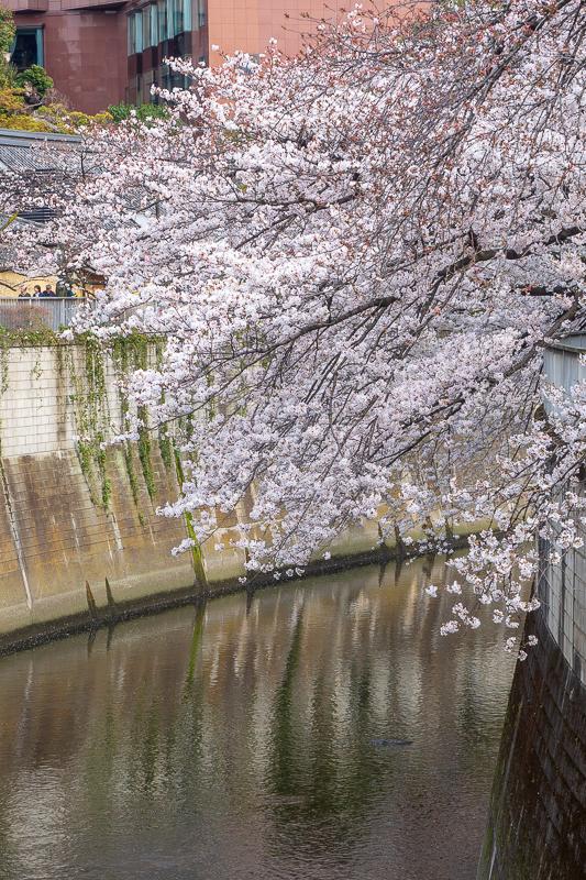 春の都電荒川線 お花見さんぽ ~鬼子母神・面影橋・早稲田方面~