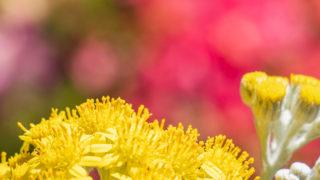 シロタエギクが開花
