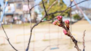 緋寒桜がまもなく開花