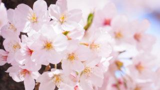 ご近所の桜は満開です