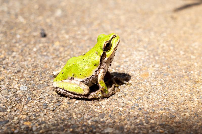 猛暑のカエル