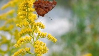 秋の蝶は枯葉に変身
