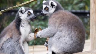 こども動物自然公園の眠るコアラと機敏なワオキツネザル