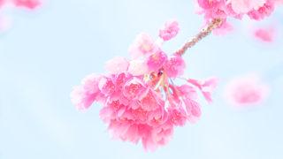緋寒桜はFuji X-T20で、ダイナミックレンジ400