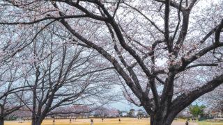花冷えのなか、桜の宴
